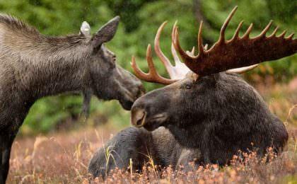 Elanden in de natuur van Zweden