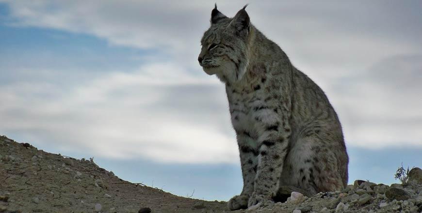 Lynx in Zweden