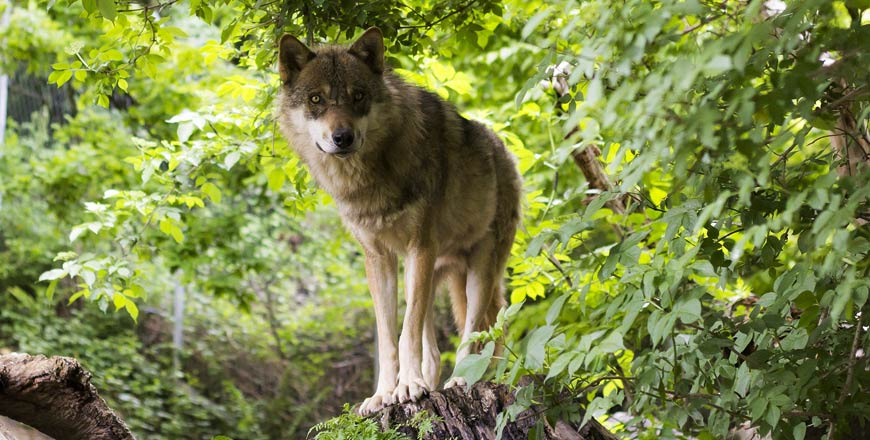 Wolf in Zweden