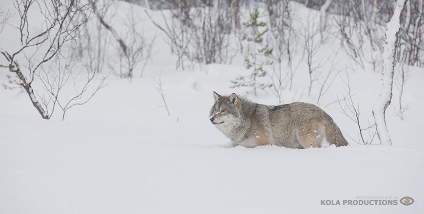 Wilde wolf loopt door de sneeuw in Orsa, Zweden.