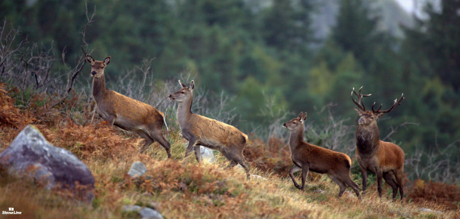Edelherten in Killarney National Park, Ierland