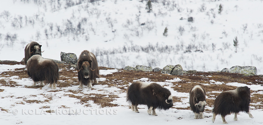 Muskusos kudde in Nationaal Park Dovrefjell, Noorwegen.