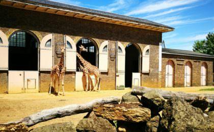 London Zoo giraffen